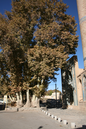 Ancient Plane tree at front of Natanz shrine