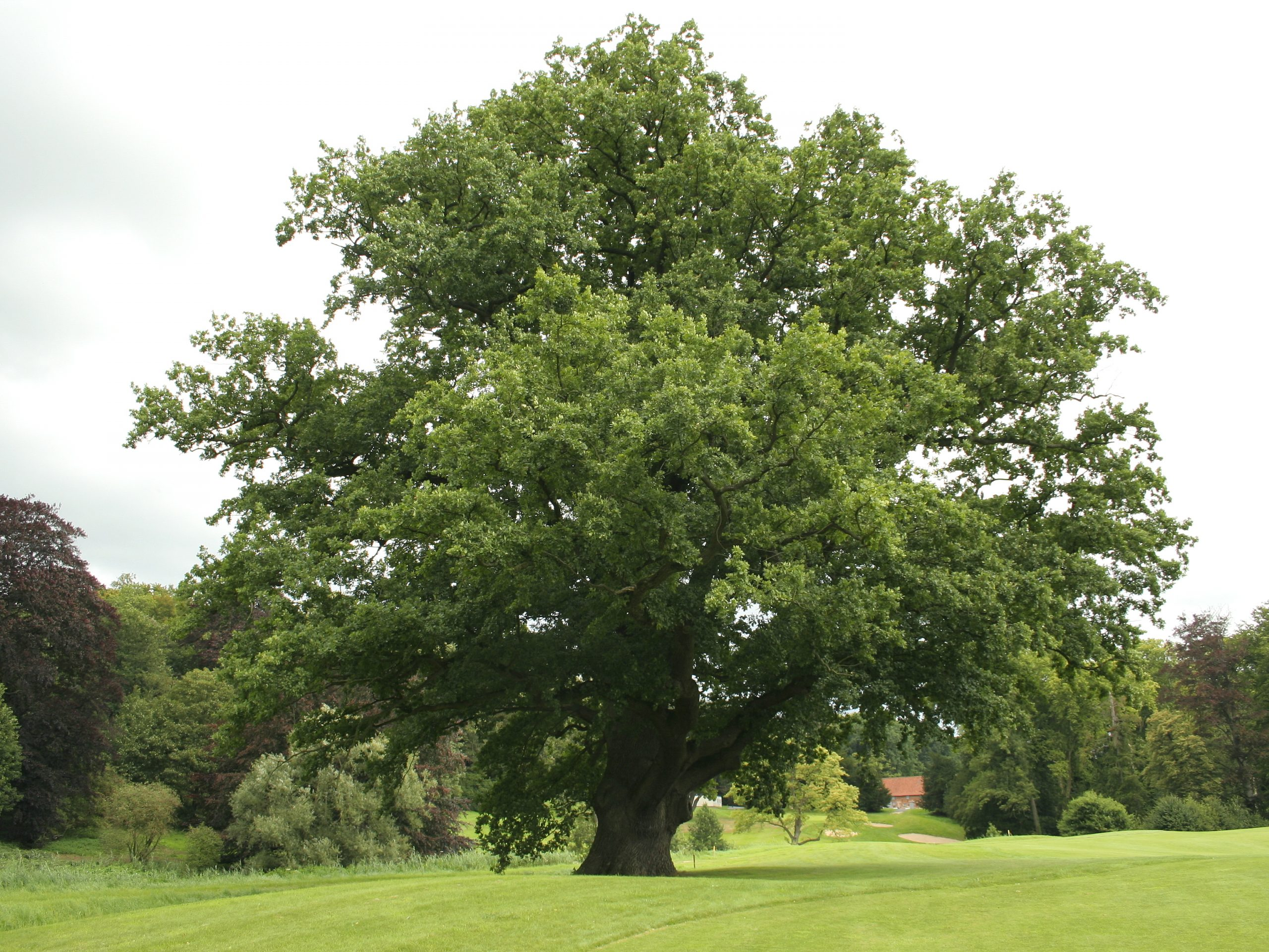 Mature English oak: Quercus robur wiki image