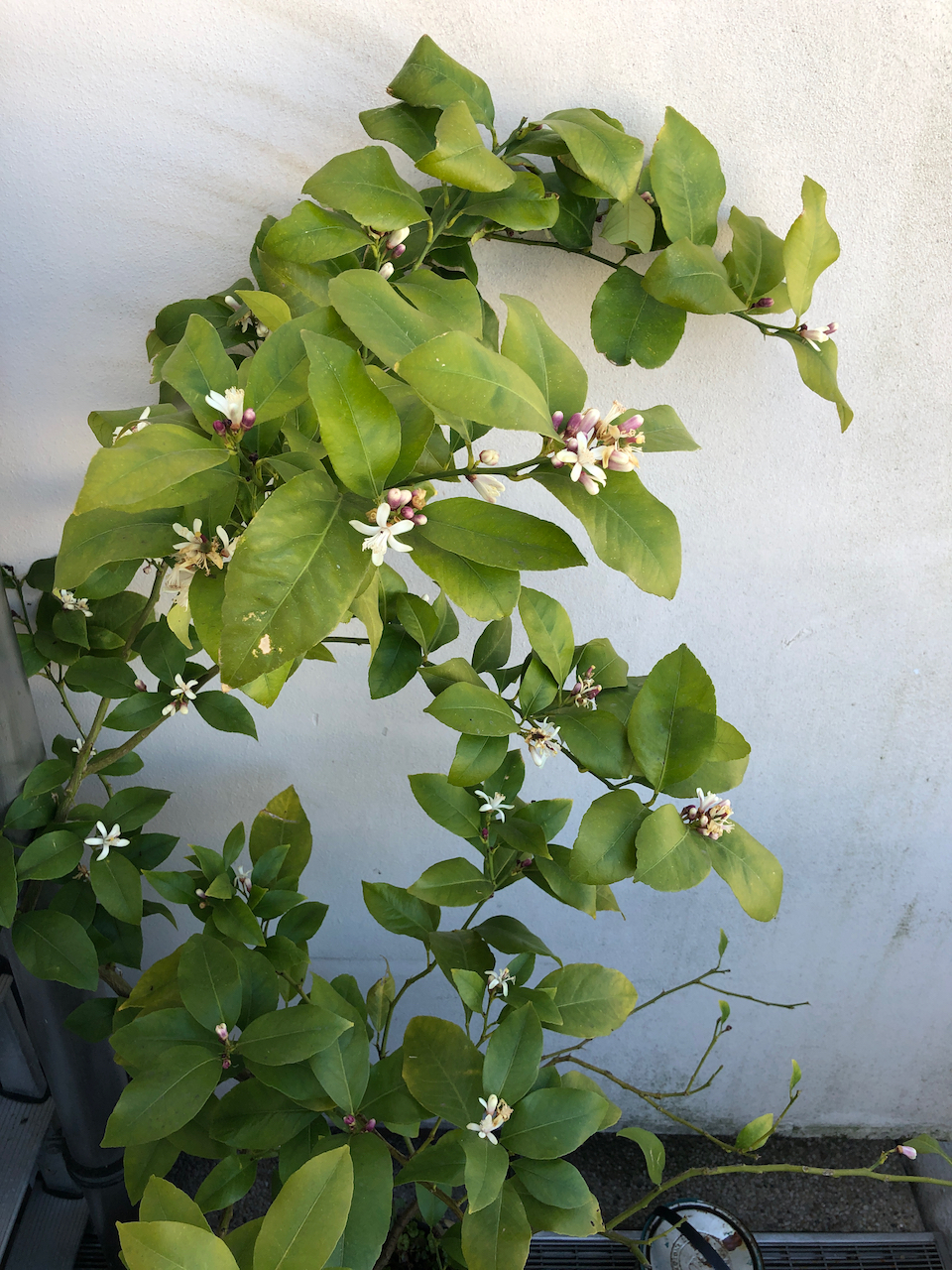 small flowering lemon tree