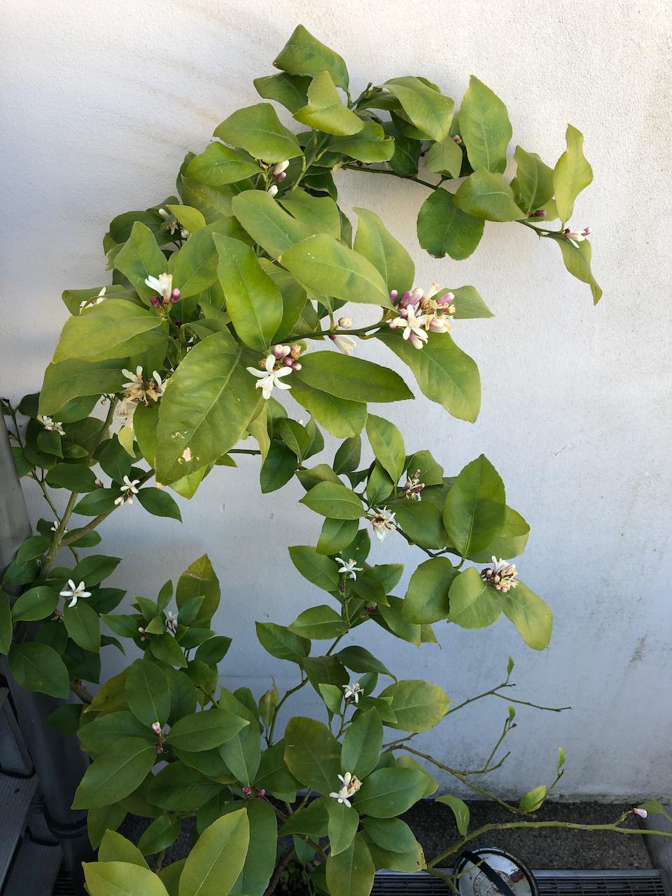 small flowering lemon tree